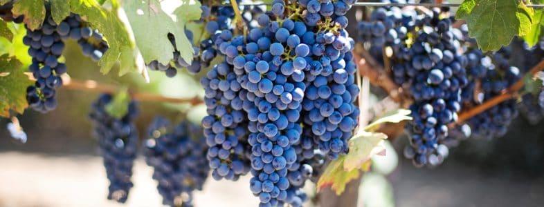 Uva rossa per la produzione del Brunello di Montalcino, il re del Vino Rosso.
